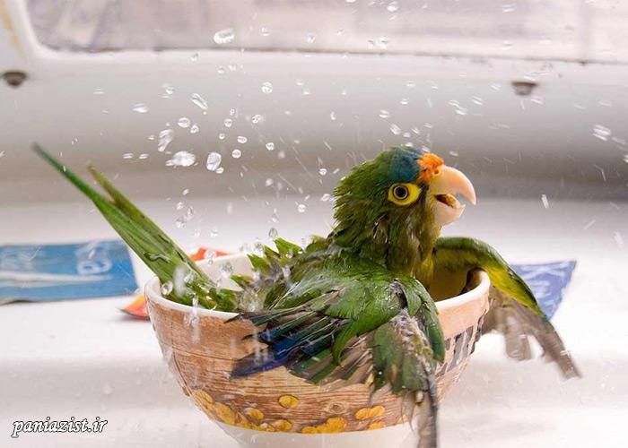 حمام کردن طوطی