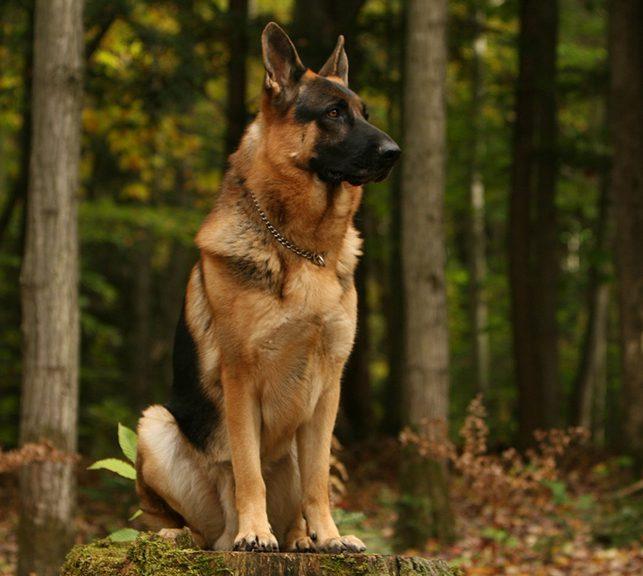 استفاده از سگ ها در ارتش